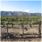 Baja Wine Vines